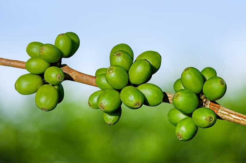 El café verde son granos de café que aún no se han tostado.
