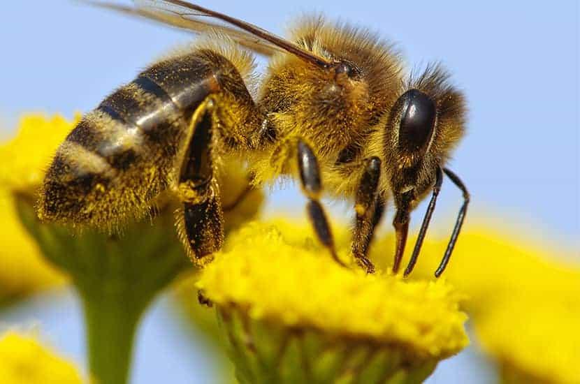 La apitoxina es un derivado del veneno de abeja.