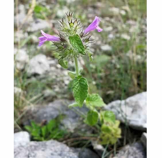 La albahaca silvestre se utiliza en la medicina tradicional búlgara para curar heridas.