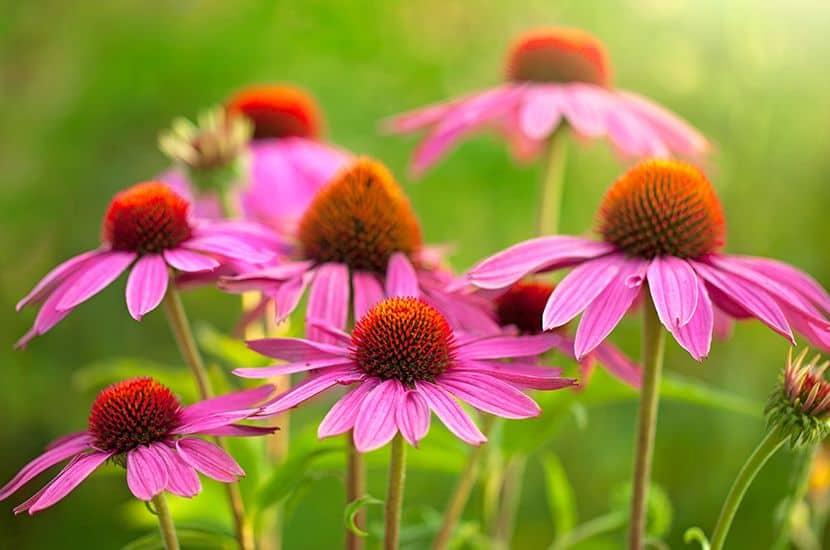 La equinácea es una planta con un alto potencial antiinflamatorio