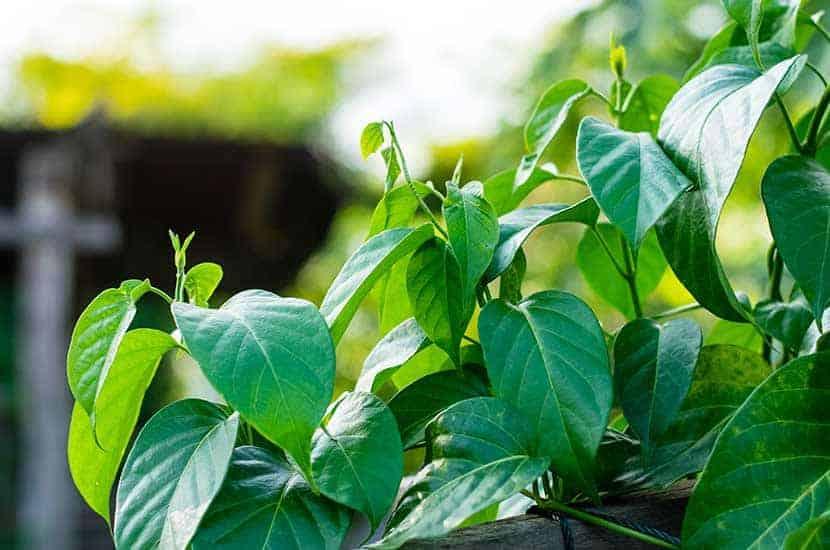 Gymnema sylvestre contiene compuestos con propiedades antiobesidad