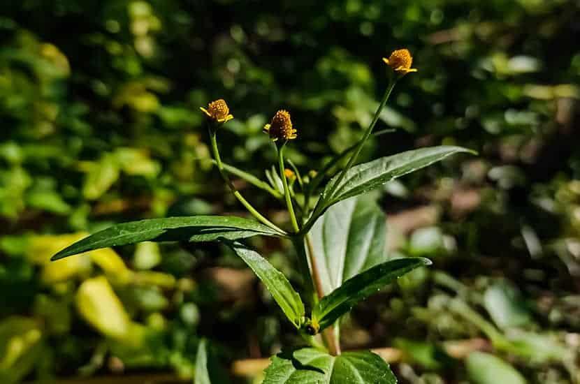 Esta planta es capaz de estimular la liberación de óxido nítrico en los vasos sanguíneos del pene.