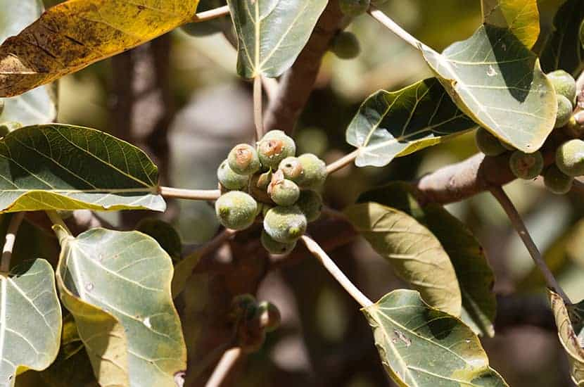 El extracto de ciruela africana es un remedio utilizado para el tratamiento de la próstata.