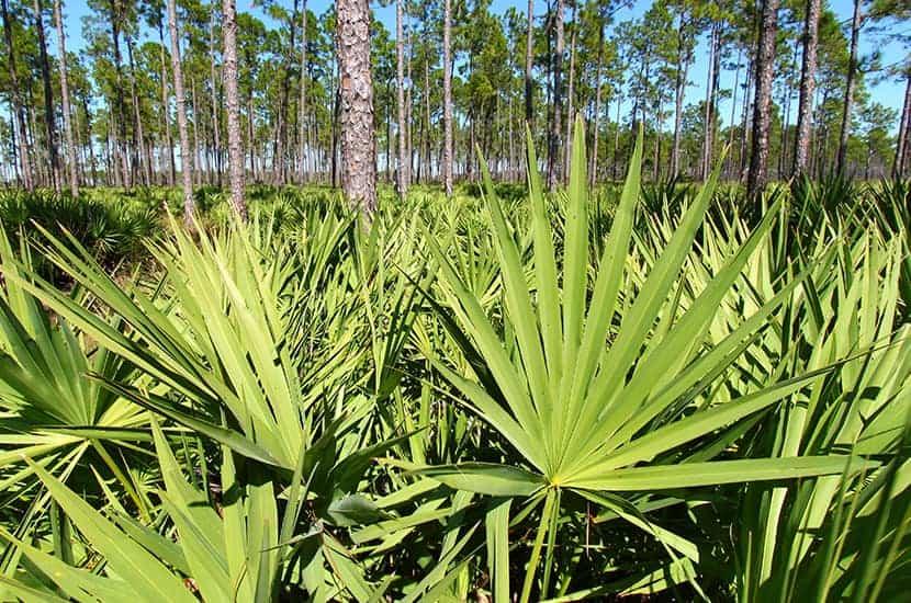 La palma Sabal tiene poderosos efectos antiinflamatorios