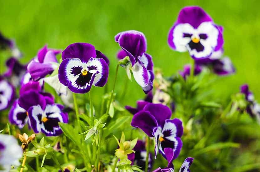 Wild Thought es una planta con efectos antiinflamatorios